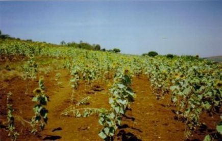 Sunflower Crop suffering from Drought